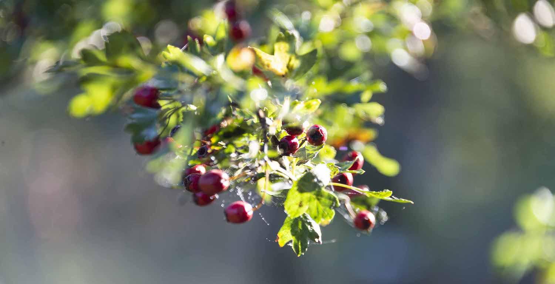Arbuste du Jardin des mineurs, Val-de-Travers